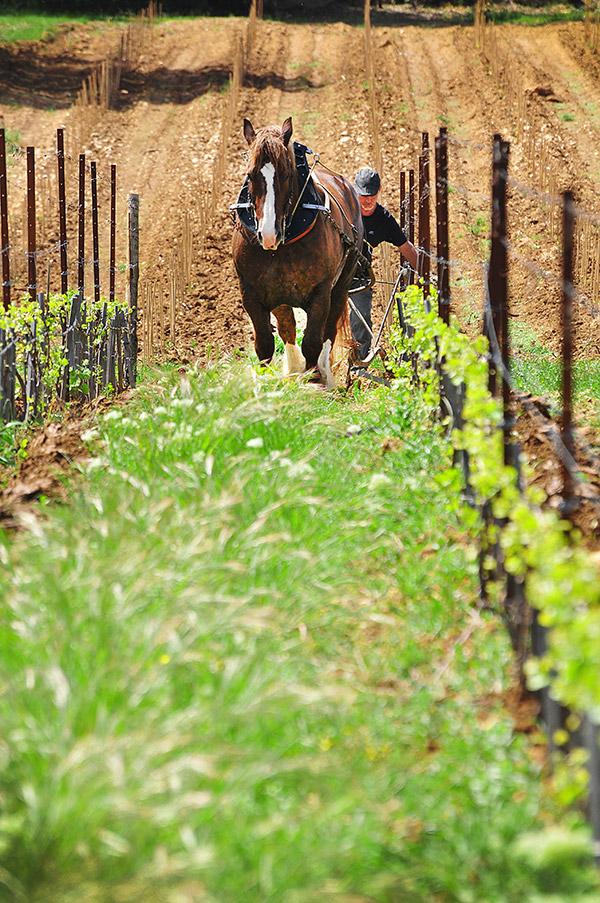 Cheval dans les vignes du Château Bonisson