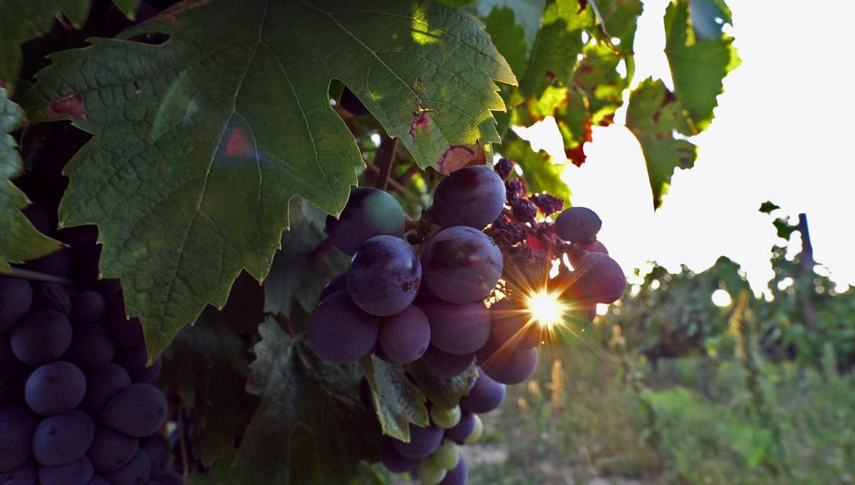 Raisins du Château Bonisson